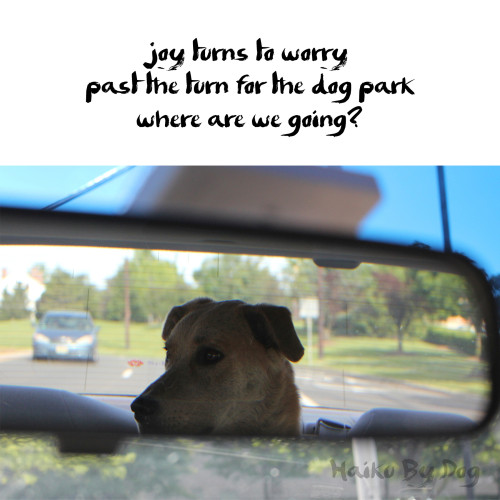 haiku by dog: joy turns to worry / past the turn for the dog park / where are we going?