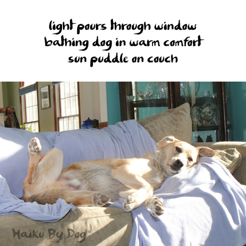 Haiku by Dog: light pours through window / bathing dog in warm comfort / sun puddle on couch