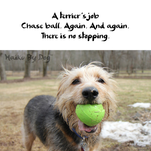 Haiku by Dog: A terrier's job Chase ball. Again. And again. There is no stopping.