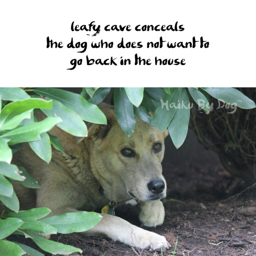 Haiku by Dog: leafy cave conceals / the dog who does not want to / go back in the house