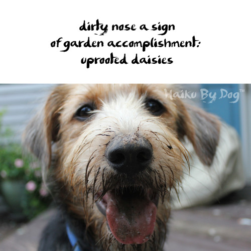 Haiku by Dog: dirty nose a sign / of garden accomplishment: / uprooted daisies