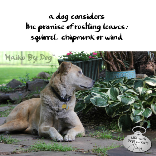 Haiku by Dog: a dog considers / the promise of rustling leaves / squirrel, chipmunk or wind
