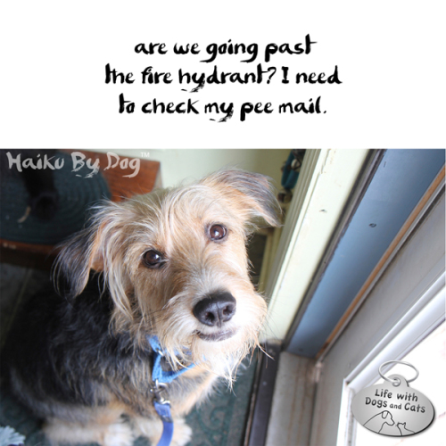 Haiku by Dog: are we going past / the  fire hydrant? I need / to check my pee mail