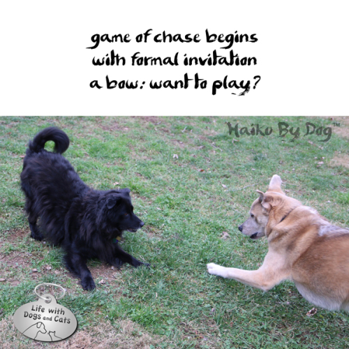 Haiku by Dog: game of chase begins / with formal invitation / a bow: want to play?