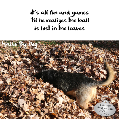 Haiku By Dog: it's all fun and games / 'til he realizes the ball / is lost in the leaves