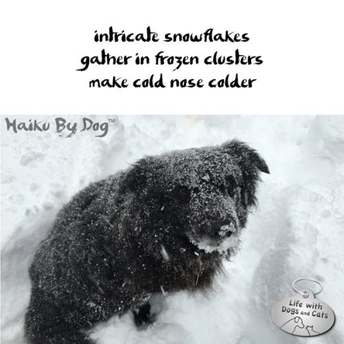 Haiku by Dog: intricate snowflakes / gather in frozen clusters make / cold nose colder