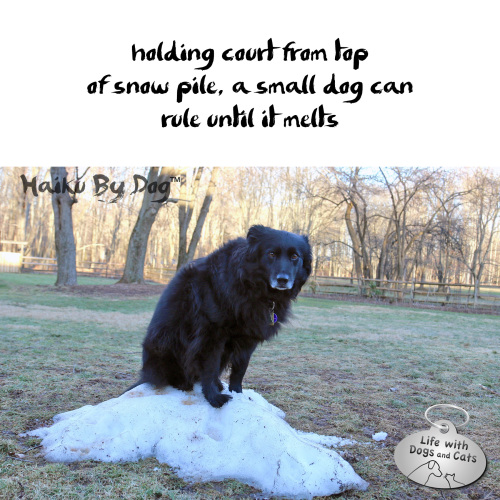 Haiku by Dog: holding court from top / of snow pile, a small dog can / rule until it melts