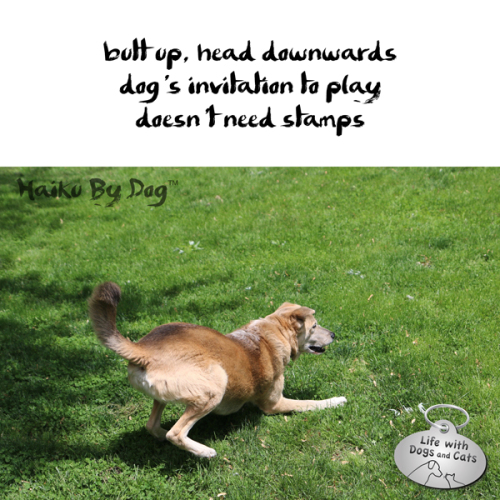 Haiku by Dog: butt up, head downwards / dog's invitation to play / doesn't need stamps