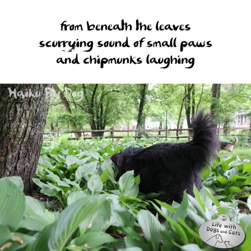 #HaikuByDog from beneath the leaves / scurrying sound of small paws / and chipmunks laughing